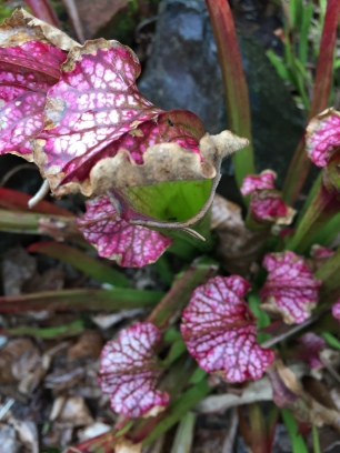 Pitcher plant, neighbor's yard.